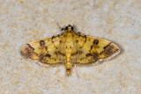 Pleuroptya iopasalis