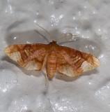 Hypolamprus sp. nr. emblicalis