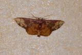 Geometridae, Sterrhinae - Metallaxis semipurpurascens