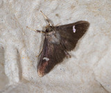 Nosophora albiguttalis