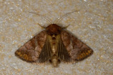 Zonoplusia ochreata