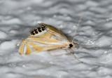 Eoophyla sp. nr. sinensis.