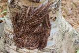 Metanastria larvae