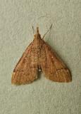 Camptomastix hisbonalis