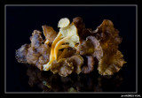 Cama grocs ( Cantharellus lutescens)