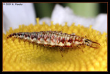 larval lacewing (Neuroptera)