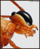 Face of Parasitic Wasp (ichneumon wasp)