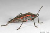Box Elderon Bug