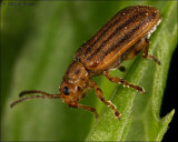 striped blister beetle (Epicauta vittata)