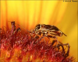 Tarnished Plant Bug (genus Lygus)