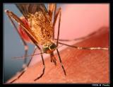 Mosquitoes, Midges, Gnats