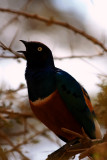 Superb Starling, Tanzania