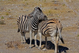 Two zebras enjoying each other's company
