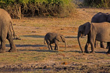 Elephants and their young