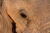 Wild Bull Elephant