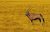 Oryx, Etosha National Park