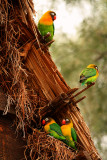 Love Birds, Tanzania