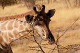 Giraffe eats an acacia tree
