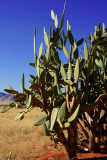 Namib desert cactus