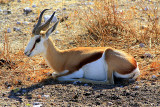 Springbok takes a rest