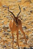 Impala, Etosha National Park