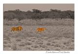 Male and Female Lion, Etosha National Park