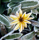 Frosted Daisy