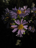 Asters in the backyard