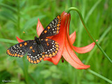 Baltimore Butterfly and Lily