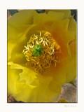 Sonoran Desert Blossom