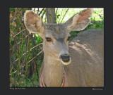 Molly the Mule Deer