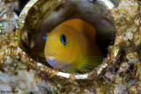 Peeping false Blenny