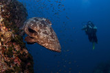 Potatoe Grouper and a diver in Chumphon Pinacle