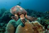 Sea Turtule