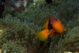 Tomatoe Anemonefish