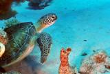 Green sea turtule