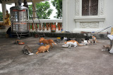 Cat feeding at the temple