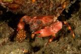 Crab eating Crab