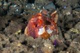 Gorlock Mantis Shrimp and cleaner shrimp