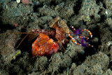 Gorlock Mantis Shrimp and cleaner shrimps