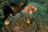 Pink Anemonefish family