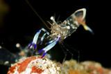 Partner Shrimp(Ancylomenes holthuisi)