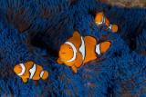 False Clownfish in a Blue Anemone