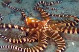 wonderpus octopus (Wunderpus photogenicus)
