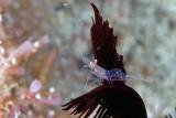 Shrimp on a Crinoid