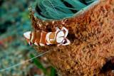 Partner Shrimp