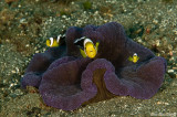 Anemone and anemone fish at day