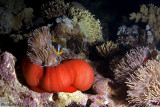 Red Anemone colony