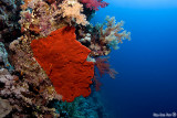 Soft corals and red sponge