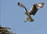 Osprey pb.jpg